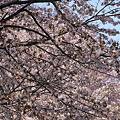 写真: 大通公園の桜
