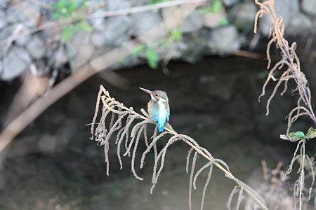 2009.11.07 和泉川 カワセミ