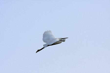 2009.11.07 和泉川 コサギ(飛翔)