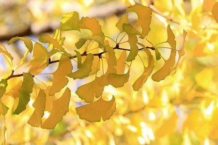 2009.11.15 大池公園 銀杏