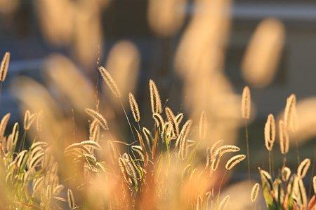 2009.11.15 和泉川 エノコログサ