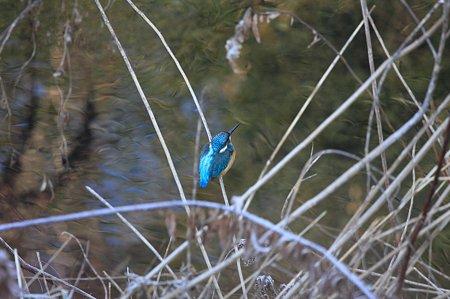 2009.12.23 和泉川 カワセミ