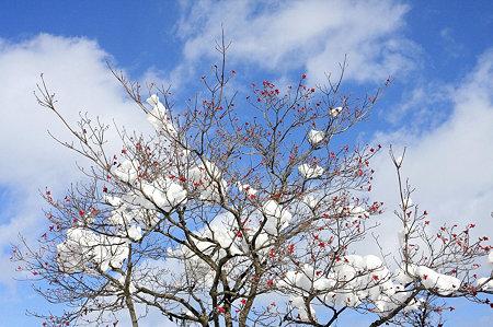 2010.01.15 八戸 ハナミズキに雪と雲