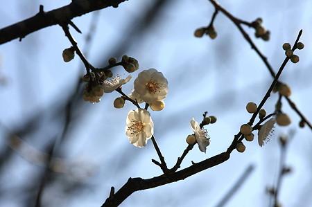 2011.02.16 大池公園 梅-咲き競い