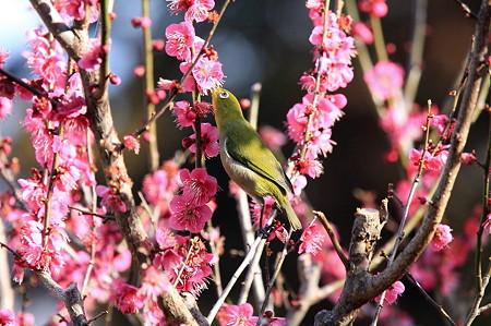 2011.02.25 和泉川 メジロ 背伸び