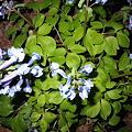 北海道の野花3