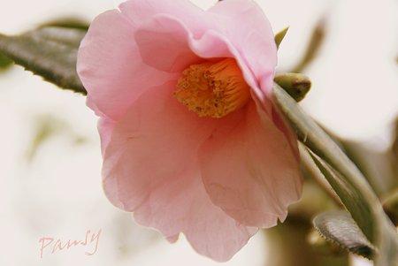 camellia..