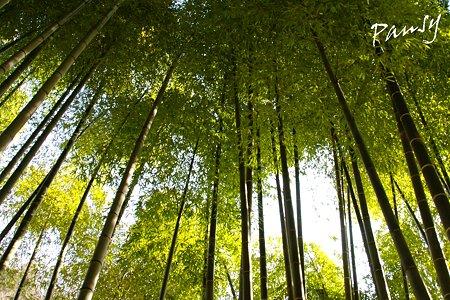 朝日の竹林・・