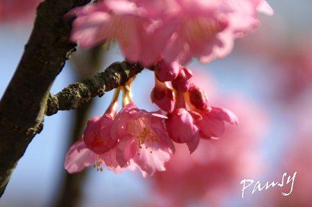 河津桜~♪