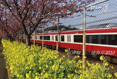 河津桜咲く・・三浦海岸・・4