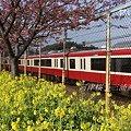 写真: 河津桜咲く・・三浦海岸・・4