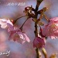 写真: 河津桜咲く・・三浦海岸・・5
