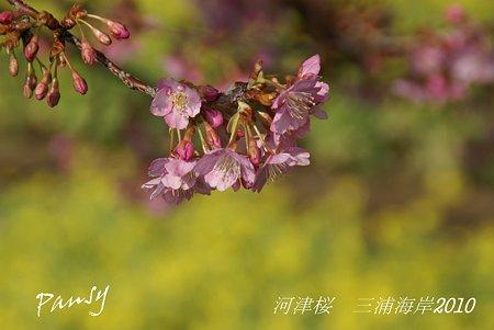 河津桜咲く・・三浦海岸・・6