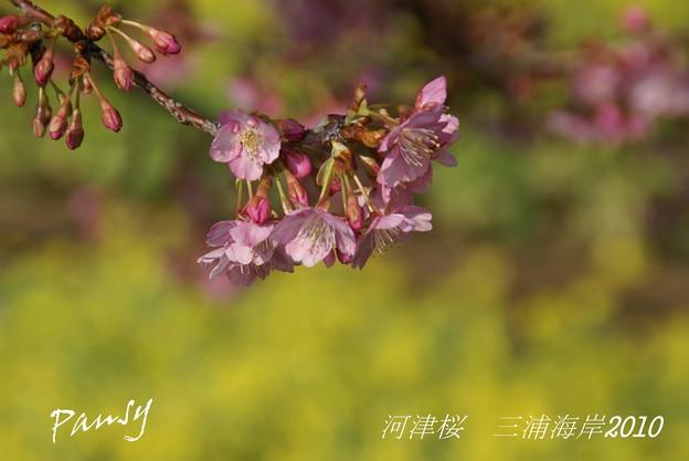 写真: 河津桜咲く・・三浦海岸・・6