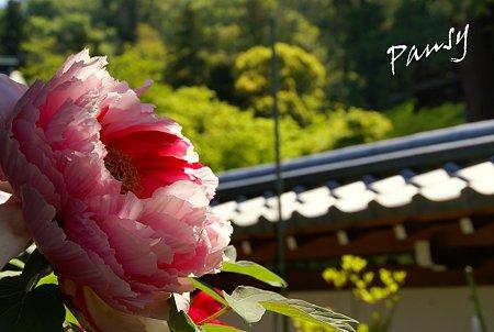 牡丹咲く寺院・・2