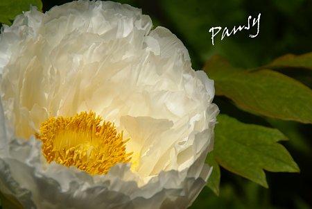 白の質感・・牡丹