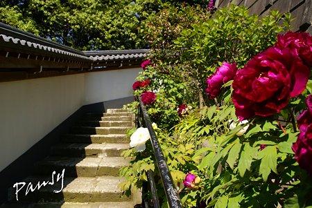 牡丹咲く寺院・・3