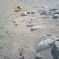 写真: 小針浜ビーチクリーン (4)