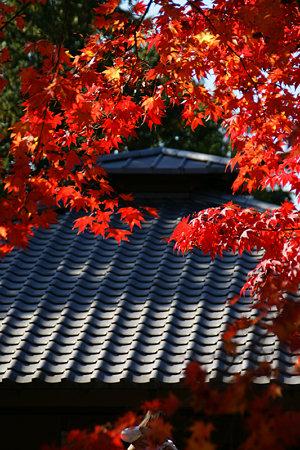 オオモミジの赤と屋根!(091115)