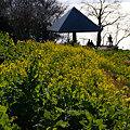 Photos: 菜の花畑、丘の上!