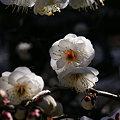 Photos: 春を呼ぶ白梅!(100124)