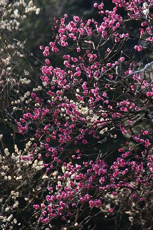 紅白の梅が彩る、東慶寺!(100130)