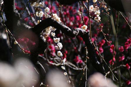 枝垂れ梅、白と赤!(100206)