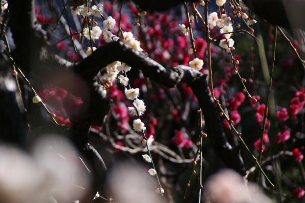 Photos: 枝垂れ梅、白と赤!(100206)