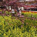 Photos: 河津桜と菜の花!(100214)