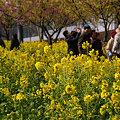 Photos: 菜の花の道!(100214)
