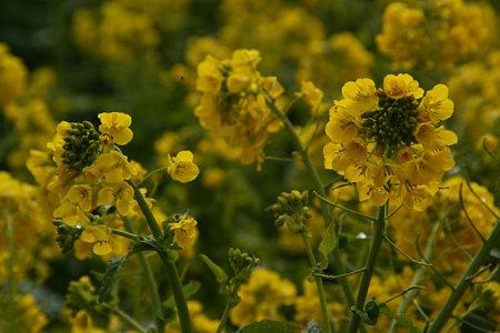 菜の花畑!(012014)