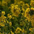 Photos: 菜の花畑!(100214)