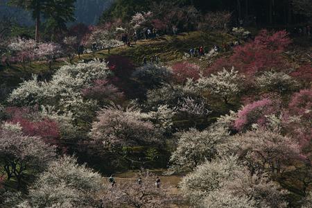 紅白の梅の公園!(100314)