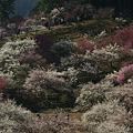 Photos: 紅白の梅の公園!(100314)