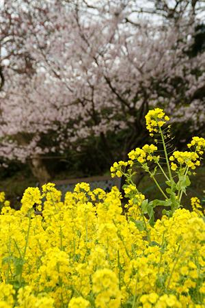 菜の花と桜!(100317)