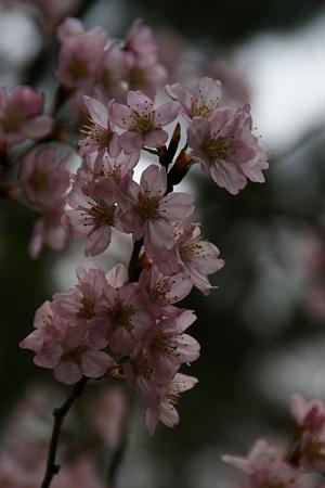 """早咲き桜""""春めき""""!(100317)"""