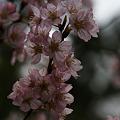 """Photos: 早咲き桜""""春めき""""!(100317)"""