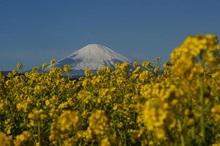 菜の花と初富士!(110102)