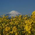 Photos: 菜の花と初富士!(110102)