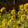 Photos: 輝く菜の花!(110102)