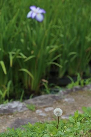 播州山崎花菖蒲園 - 16