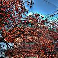 Photos: 弁天堂と柿の木