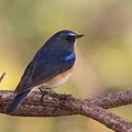 写真: 091128-2幸福を運ぶ青い鳥