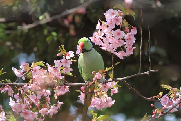 写真: 100303ワカケホンセイインコと河津桜2