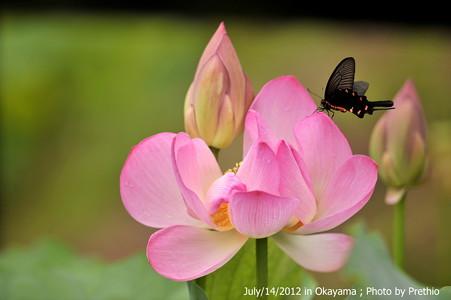 ジャコウアゲハと蓮花