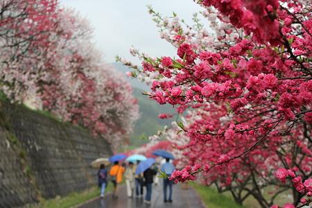 月川の花桃