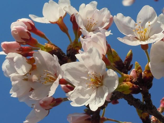 千光寺山の桜