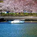 陽だまり(桜花)