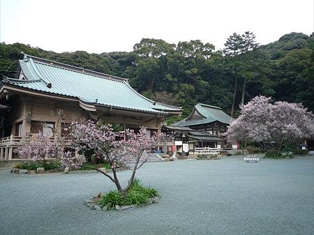鎮国寺の緋寒桜と梅(4)