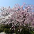 舞鶴公園の桜(1)ぼたん・しゃくやく園